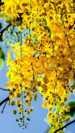 cassia: Cassia fistula