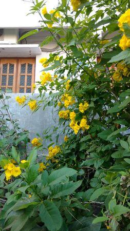 Tacoma stans,yellow elders,trumpet flowers, Stock Photo