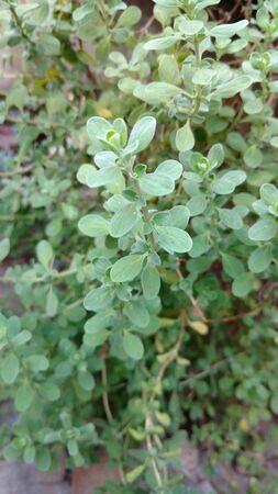 oregano or origanum marjoram Zdjęcie Seryjne