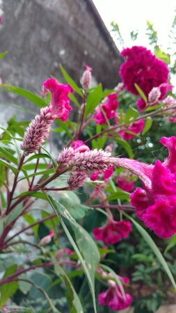 Cockscomb, Chinese Wool Flower, Celosia argentea