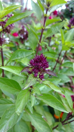 Basil, Ocimum basilicum Stock Photo