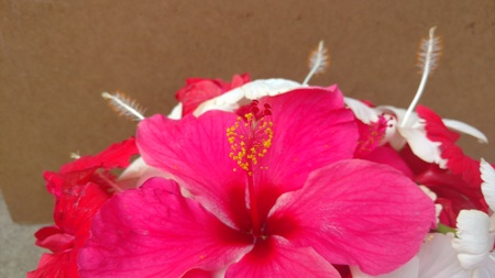 recent: Hibiscus flowers, hibiscus, rose mallow Stock Photo