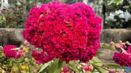 recent: Cockscomb, Chinese Wool Flower, Celosia argentea