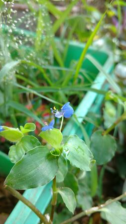 Benghal day flower or tropical spiderwort or wandering Jew or commenina benghalensis