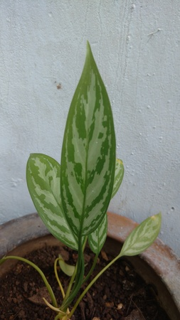 Croten that is also known as Aglaonema Crispum Stock Photo