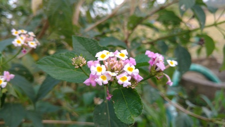 lantana camara or Spanish flag flower Stock Photo