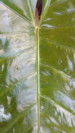 elephant ear leaf closeup Stock Photo