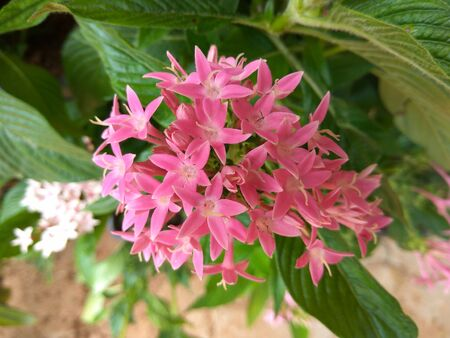 Pentas lanceolata or star flowers