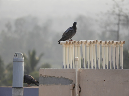 pigeon or domestic pigeon on pipes in a foggy morning