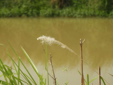 cogon grass with pond background