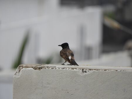 Red-vented Bulbul also called as Pycnonotus cafer perched on wall