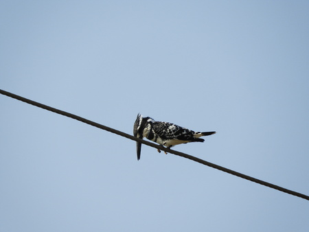 pied kingfisher also called as Ceryle rudis, water kingfisher. 写真素材
