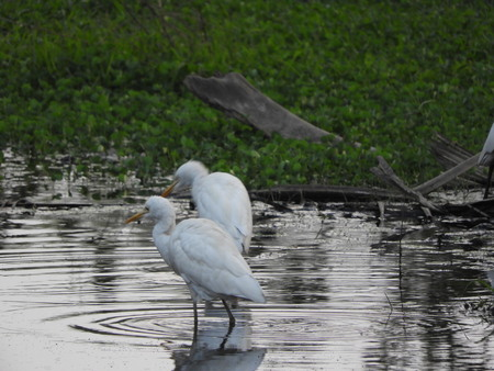 Eastern great egret in pond