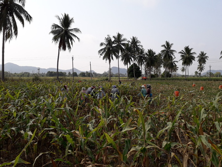 farmers plucking the corn in the corn field, corn also called as maize, Zea mays