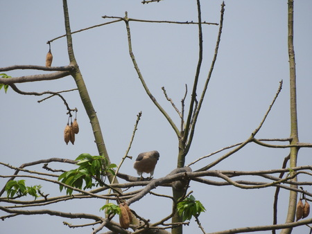 Coopers Hawk also called as accipiter cooperii on silk cotton tree