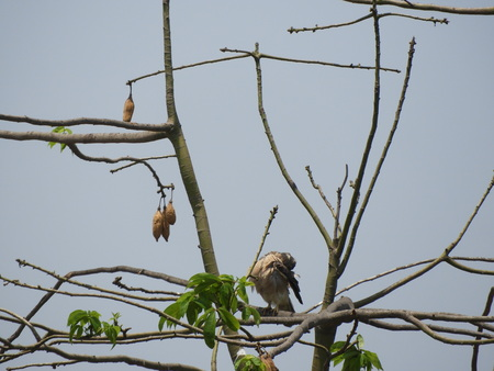 Cooper's Hawk also called as accipiter cooperii on silk cotton tree