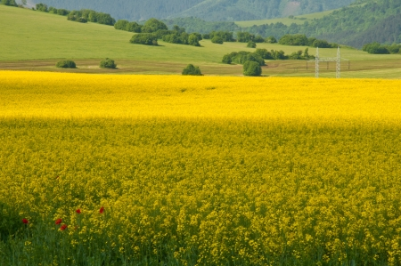 oilseed: oil-seed rape blows on the field Swede