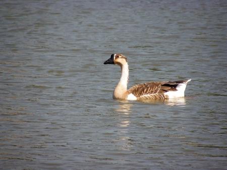 endothermic: Goose