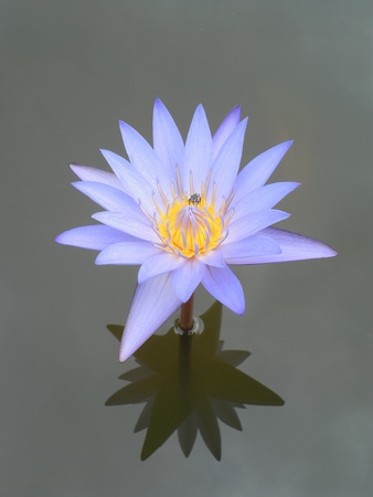 purple lotus on nature background photo