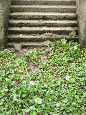 Water Hyacinth on Sewage photo