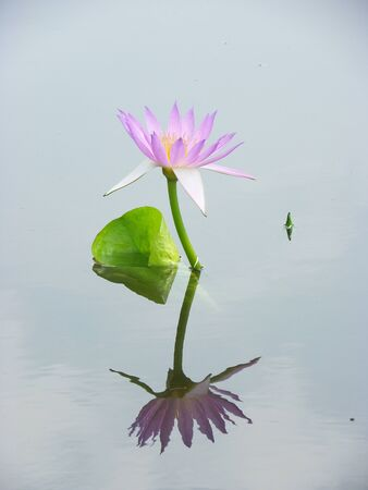 purple lily lotus blooming in the park photo