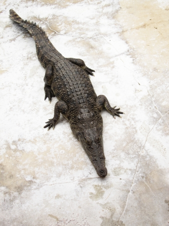 crocodile Stock Photo - 23284544