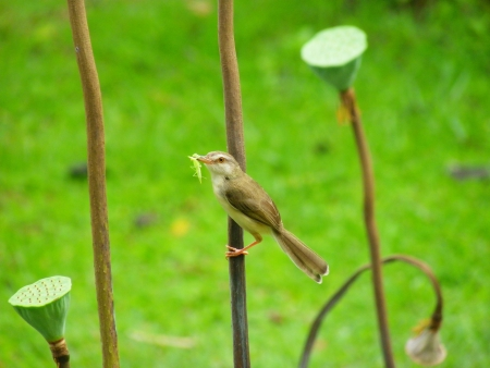 Plain Prinia on a lotus photo