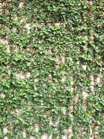 Green Creeper Plant growing on a brick wall photo
