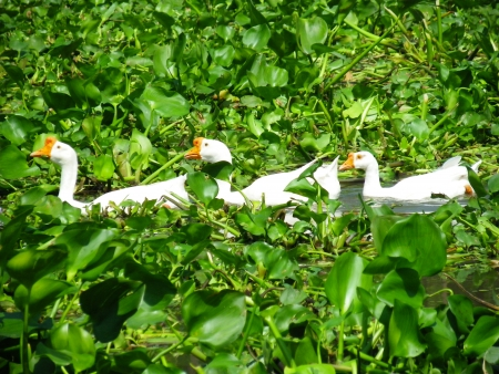 White geese on the water Imagens