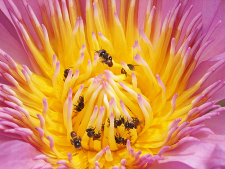 pollination: Lotus bees in pollination