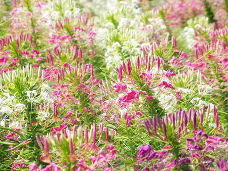 Spider flower or Cleome spinosa in Thailand photo