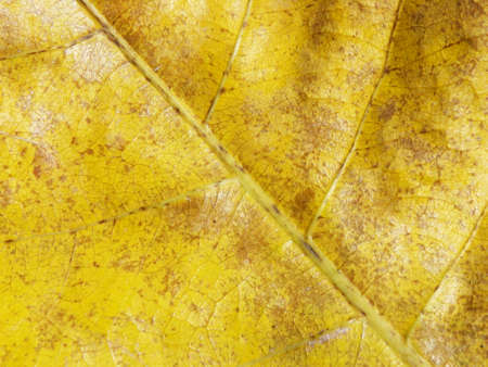 fall leaf or yellow leaf background texture photo