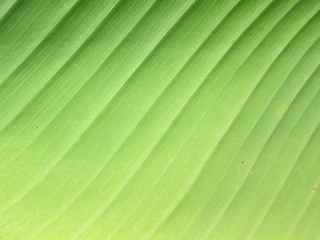 Green Banana leaf texture close-up photo