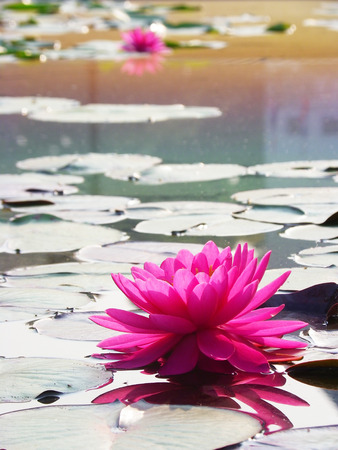 waterlilly: pink waterlilly with reflection and lilly leaf Stock Photo