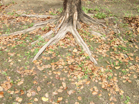 Roots of the large tree photo