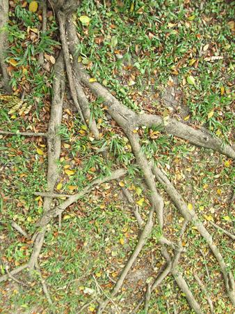 strong base: Radici degli alberi sul terreno Archivio Fotografico
