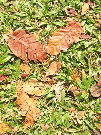 Dry teak leaf on green grass photo