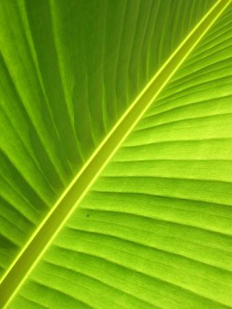 Close up of fresh banana leaf photo