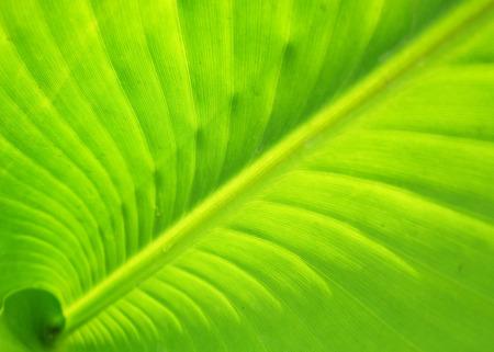 Inside a banana leaf photo