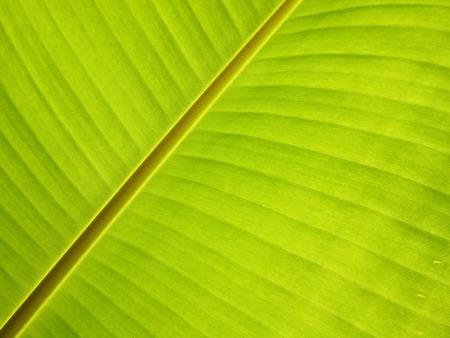 Close up of fresh banana leaf, banana leaf texture, for background photo