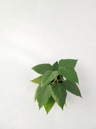 Small bodhi tree growing in concrete photo