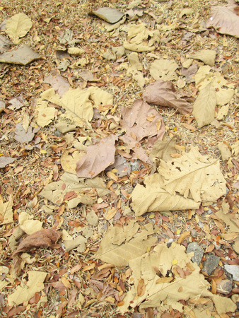 Dry teak leaves on the ground photo