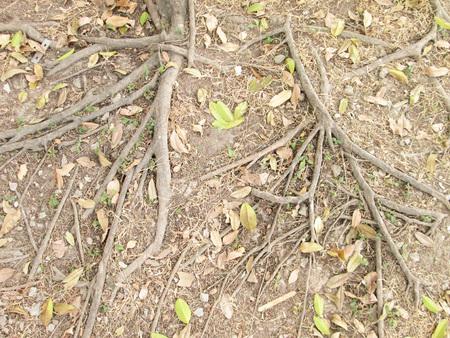 boom wortels: Boomwortels op de grond Stockfoto