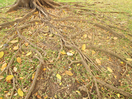 Tree roots on the ground Stock Photo