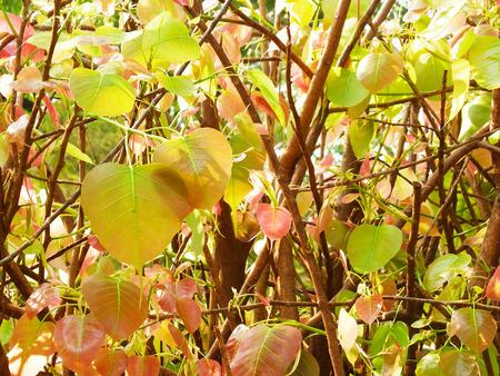 peepal tree: Bodhi or Peepal Leaf from the Bodhi tree,Buddhist,Thailand