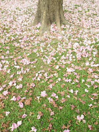 Pink flowers tabebuya rosea blossom on green grass stock photo pink flowers tabebuya rosea blossom on green grass stock photo 35569399 mightylinksfo