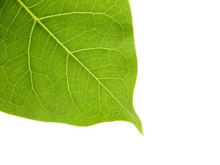 peepal tree: Bodhi or Peepal Leaf on white background