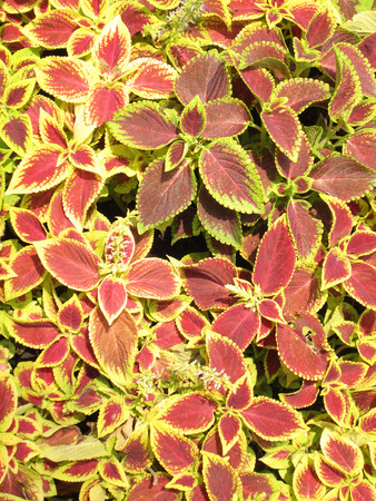 contiguous: Ornamental plants in red