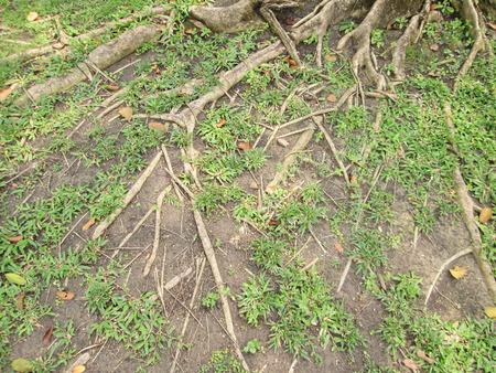 strong base: Le radici degli alberi sul terreno