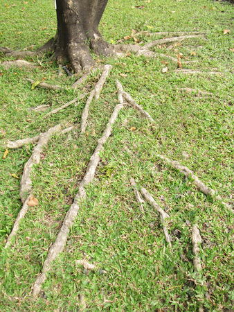 strong foundation: The roots of trees on the lawn Stock Photo